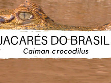 Jacarés dos Brasil #3 - Caiman crocodilus