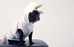 boston-terrier-wearing-unicorn-pet-costu