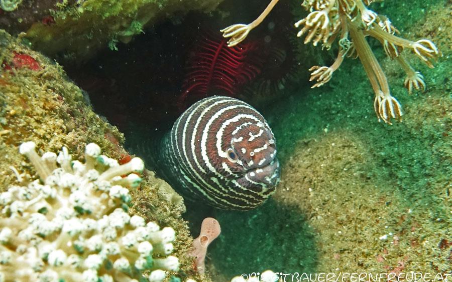 moray-zebra