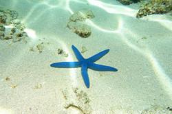blue-sea-star