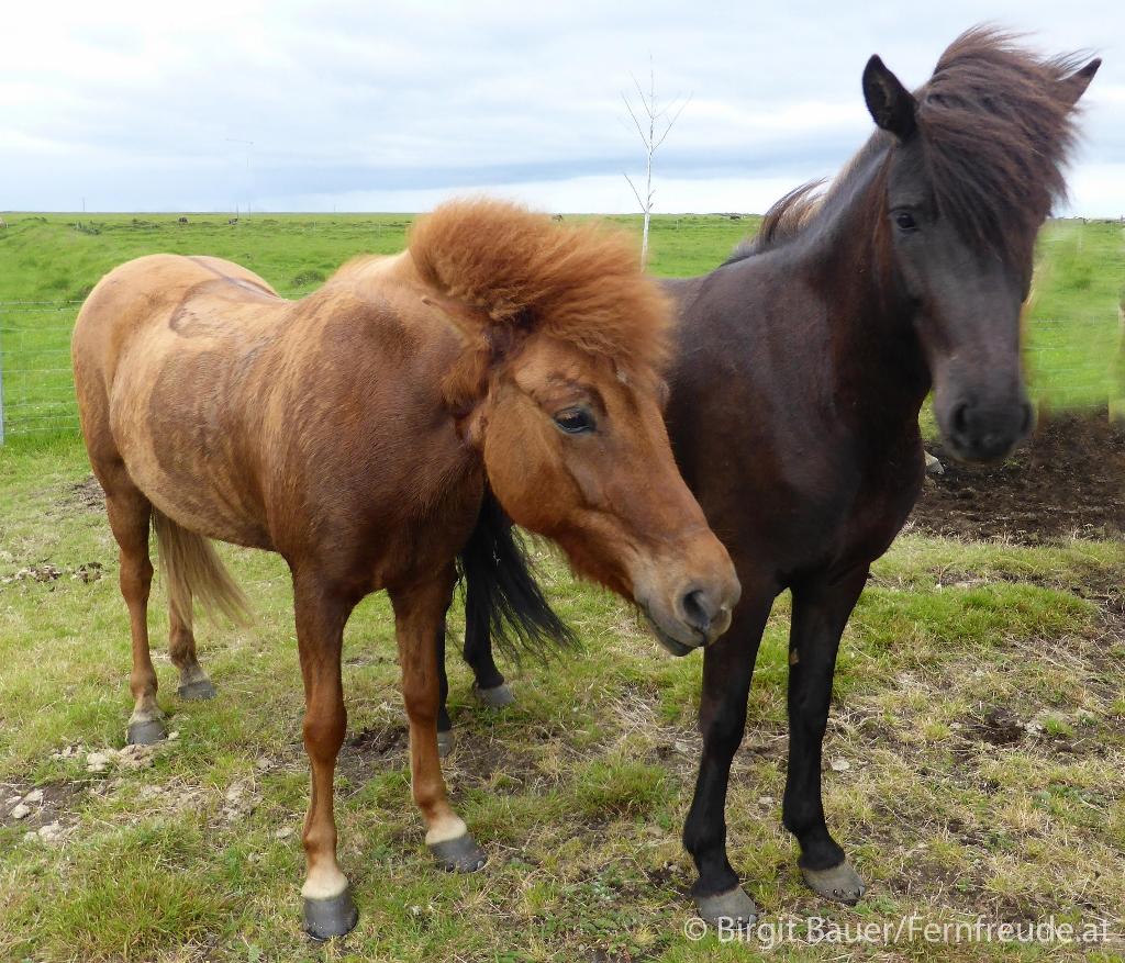 Isländische Pferde