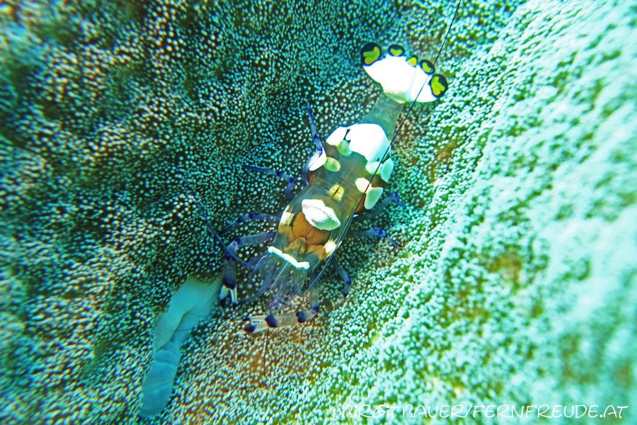 shrimp-peacocktail-anemone