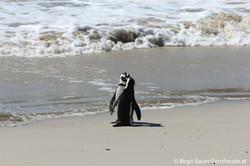 Pinguinkolonie in Simon's Town