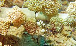 shrimp-peacocktail-anemone_2
