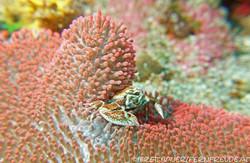 crab-spotted-porcelain_1