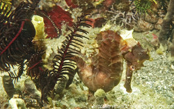 seahorse-common_2