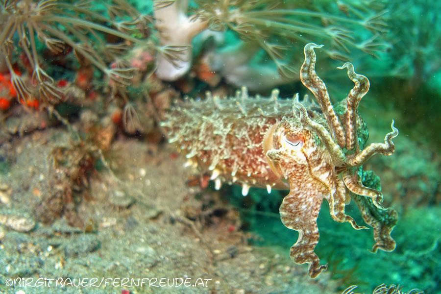 Cuttlefish_1