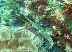 lobster-pronghorn-spiny