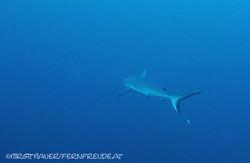 grey-reef-shark_2