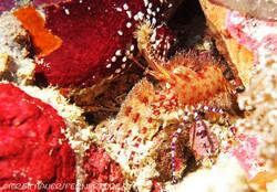 shrimp_marbled