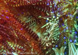 crab_zebra-urchin
