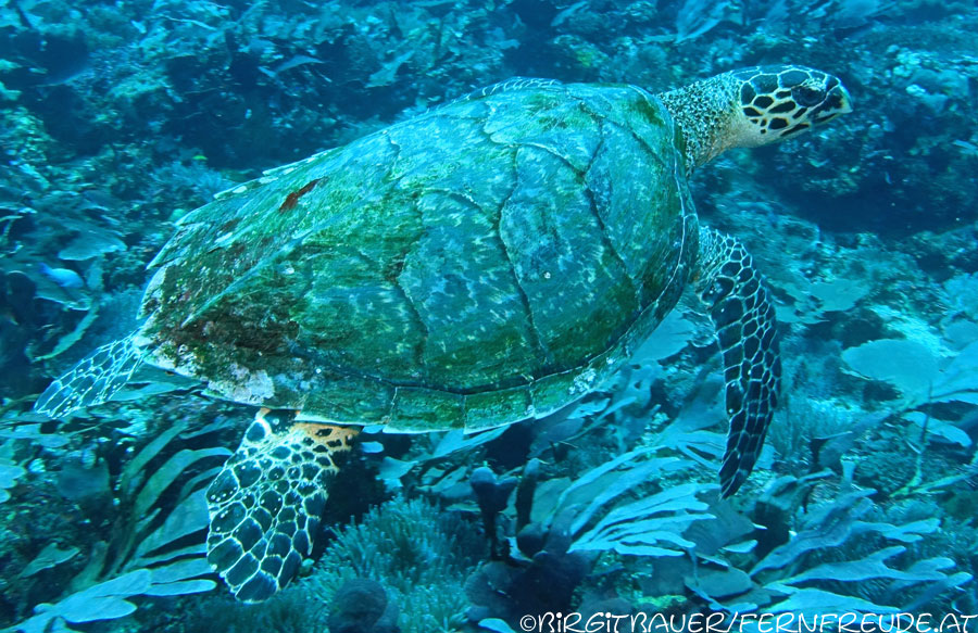 turtle-hawksbill_2