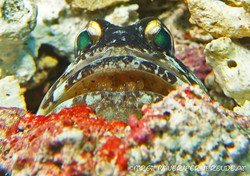 jawfish-with-eggs