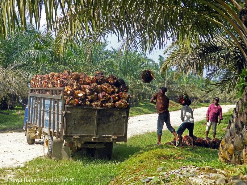 Abtransport der Früchte der Ölpalme