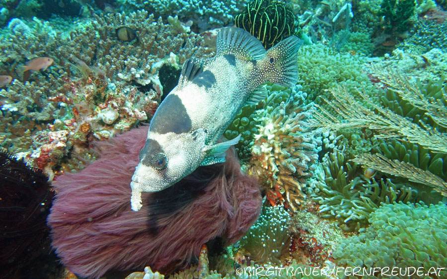 spotted-soapfish