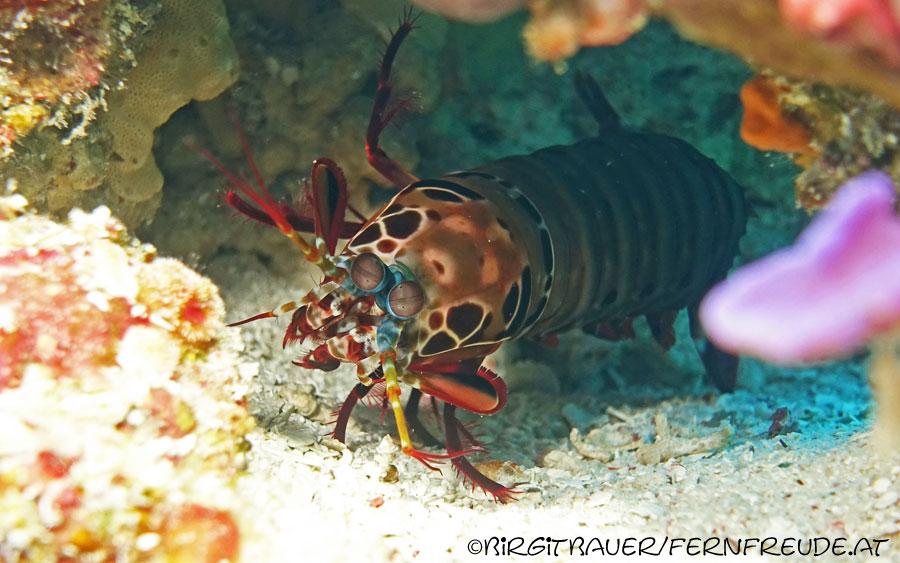 shrimp_mantis_2
