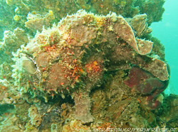frogfish-giant_1