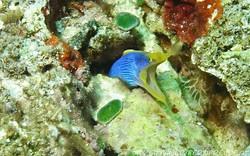ribbob-eel-blue_2