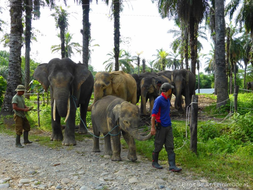 Panierte Elefanten vor der Waschung