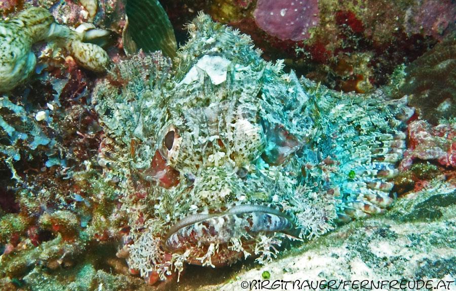scorpionfish_16