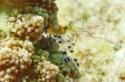 shrimp_11