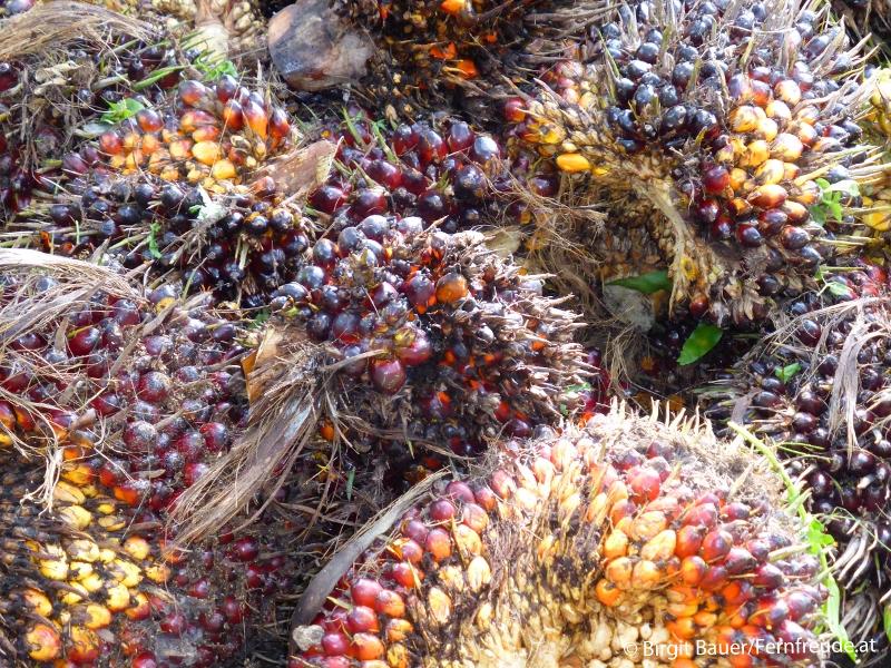 Steinfrüchte der Ölpalme