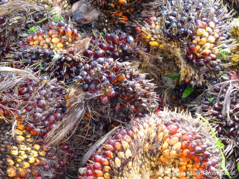 Fruchtstände der Ölpalme