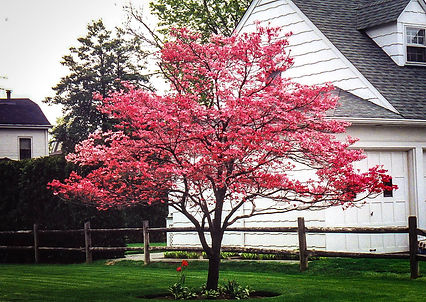 Cherokee Chief Dogwood