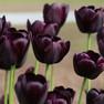 Queen of Night tulip.jpg