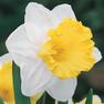 Las vegas Daffodil.jpg