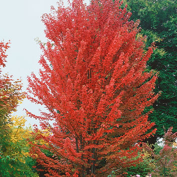 autumn-blaze.jpg