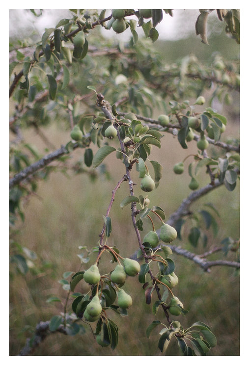 a pear tree in Western Finland. photo Saara Vuola