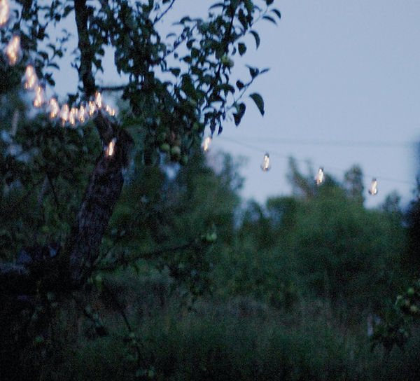 old apple tree and atmospheric light bulbs in the countryside. photo Saara Vuola