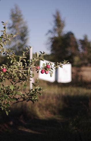 red apples. Saara Vuola