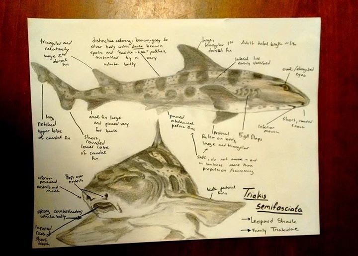 Leopard shark! Triakis semifosciota