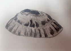 shell study limpet