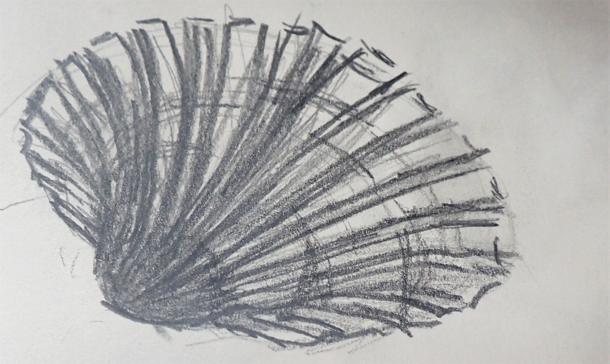 shell study clam