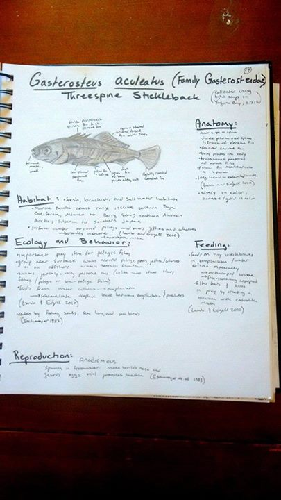 Gasterosteus aculeatus - three spined stickleback