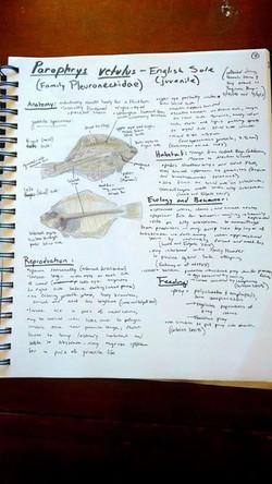 Parophrys vetelus - English sole