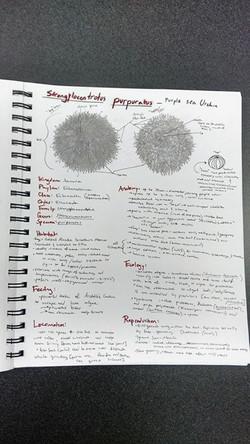 Pruple sea urchins! Strongylocentrotus purpuratus.jpg Say that five times fast