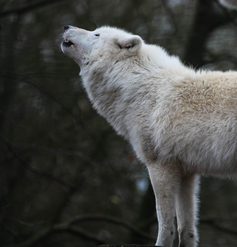 arctic wolf duisburg.jpg