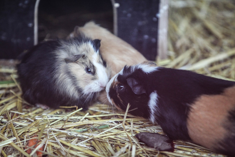 guinea pig duisburg.jpg