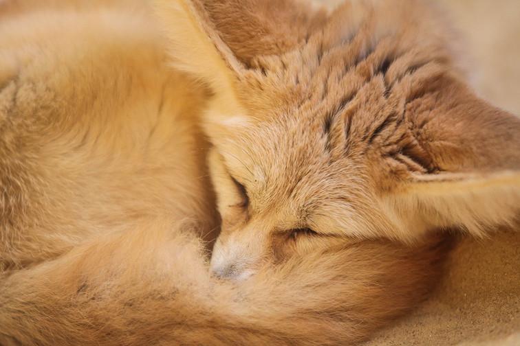 fennec fox dc.jpg