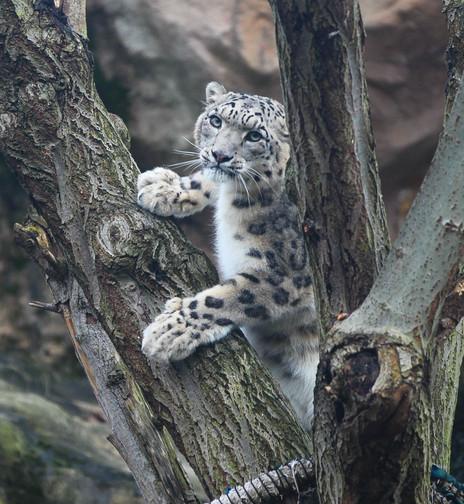 snow leopard koln 2.jpg