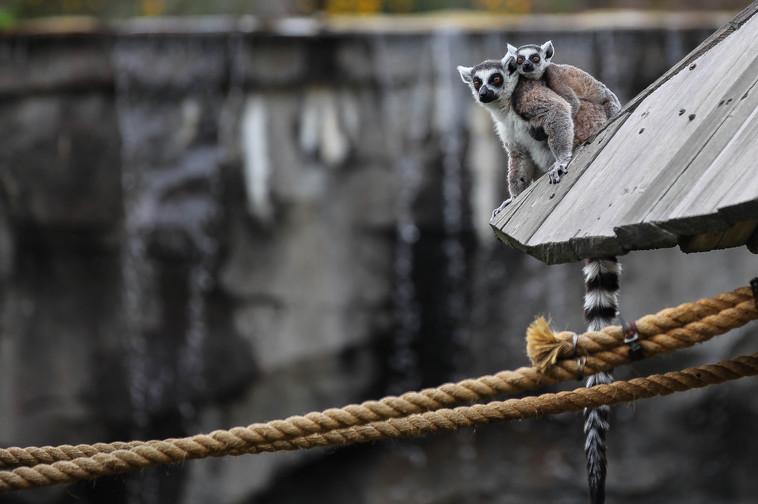 ring tailed lemur dalian 3.jpg