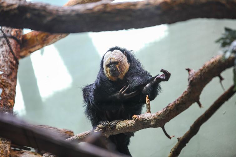 Pale-headed saki monkey dc.jpg