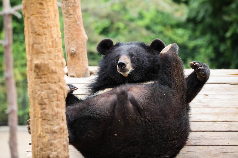 asian black bear dalian 3.jpg