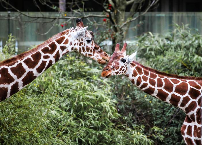 giraffe duisburg.jpg