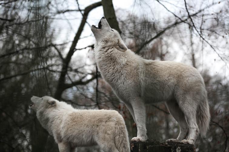 arctic wolf duisbubrg.jpg