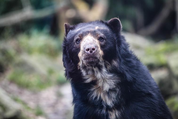 Spectacled bear duisburg.jpg